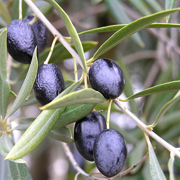 Olive Olea Europaea Species Details And Allergy Info - Olea europaea distribution map in us
